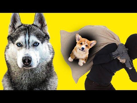 ЩЕНКА КОРЖИКА УКРАЛИ!! (Хаски Бандит) Говорящая собака