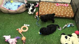 Little Rascals Uk Breeders New Litter Of Poodle Little Girls - Puppies For Sale 2015