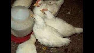 Kurczaki leghorn i mieszańce.