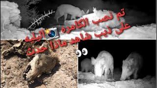 تصوير الحيوانات البرية 🐷🦊 خليت ذيب ميت📸الصياد ابو اسحاق