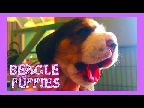 Beagle Puppies 2 Weeks Old! SUPER CUTE