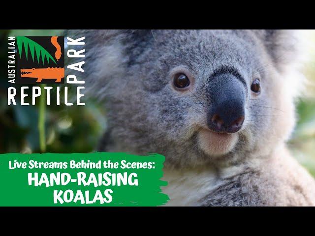HANDRAISING KOALAS (LIVE FOOTAGE) | AUSTRALIAN REPTILE PARK