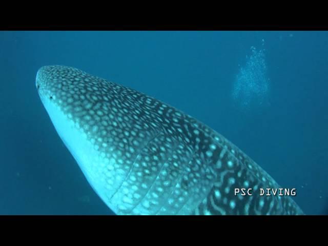 甚平鮫とダイビング(WHALE SHARK)
