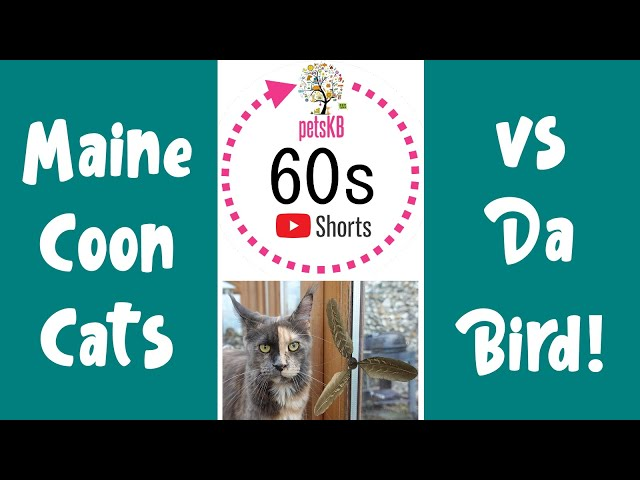 Maine Coons playing with Da Bird #Shorts