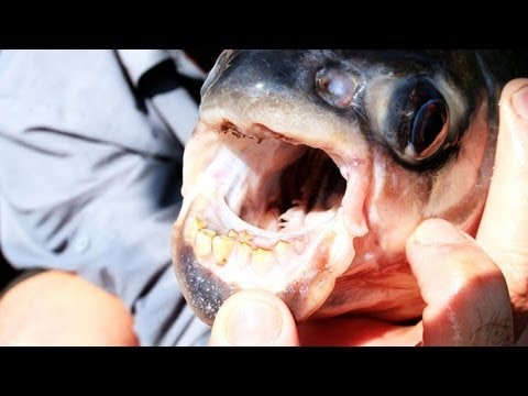 Piranha Fish Cousin Pacu Likes To Bite Men In The Balls