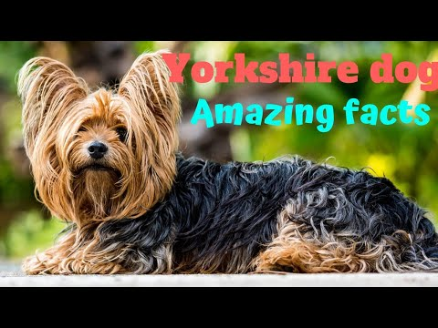 Amazing Facts on Yorkshire Terrier | In Hindi | Dog Facts | Animal Channel Hindi
