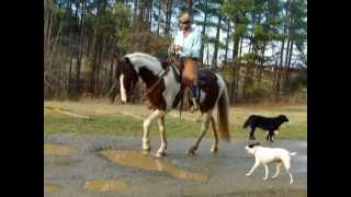 A Delightful Bum Grandma SAFE Family Friendly Tennessee Walking Horse For Sale