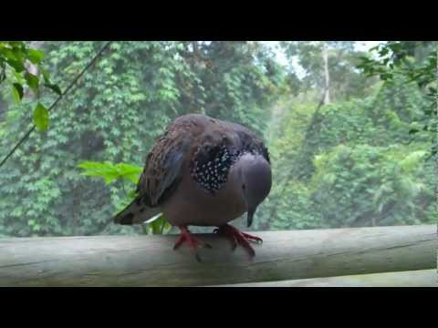 Spotted Turtle-Dove
