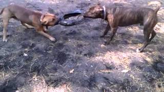 Tug Of The Wheel (american Pit Bull Terrier And Staffordshire Terrier) Round 10 (dog Tired.)