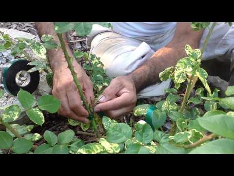 آموزش باغبانى با صابر  ،پيوند گل روز thumbnail