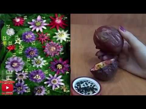 Маракуя Пассифлора  как посадить вырастить уход  что получается Passiflora в домашних условиях