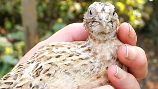 Bonding with my quail chick prior to free-ranging. Formation caille bio. Formación codorniz orgánica