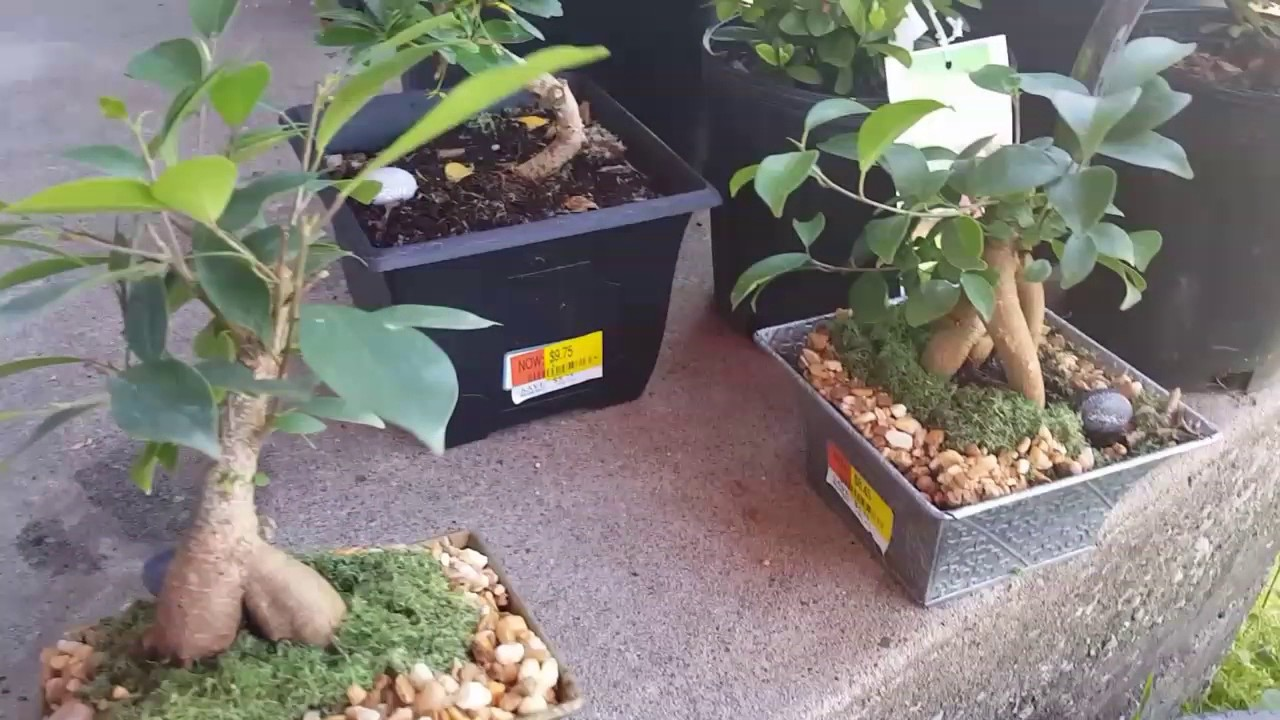 Looking At Small Mame Stock From Walmart How To Use For Bonsai Tree Youtube