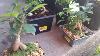 Looking at small mame stock from Walmart how to use for bonsai tree