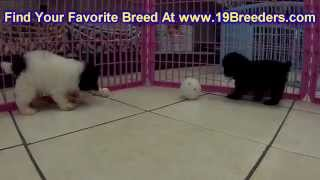 Toy Poodle, Puppies, For, Sale, In, Rio Rancho, New Mexico, County, Nm, Sandoval, San Juan, Mckinley