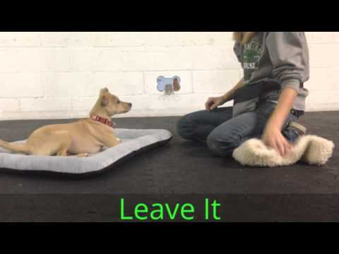 Tommy, Chihuahua Mix, Puppy Academy Graduation Video, Good Dog DC