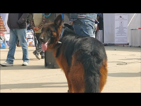 Tan colored German Shepherd - Nepal dog show
