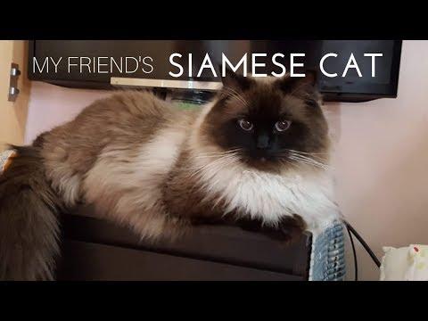 My friend's cute Siamese Cat !!