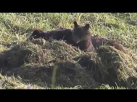 Grizzly bear cub close-up (early morning) - Yellowstone