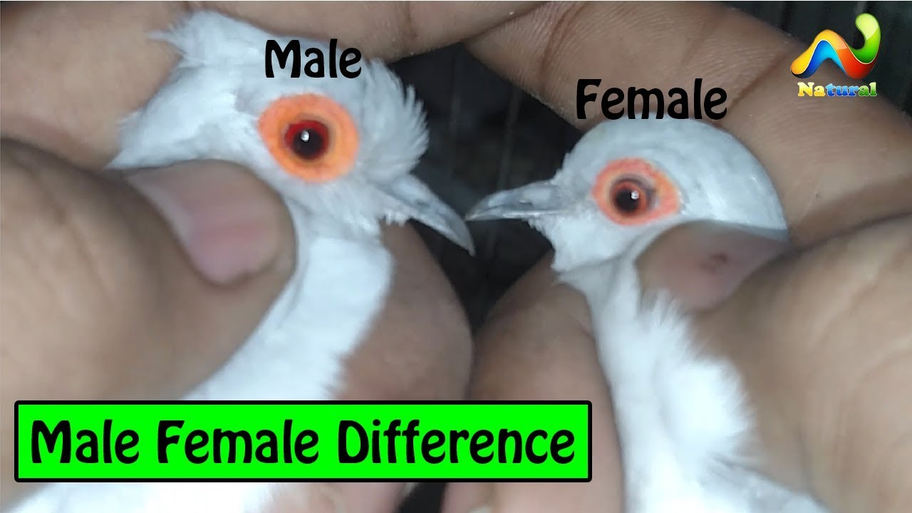 Zebra Finch And Diamond Dove Male Female Difference Urduhindi Youtube