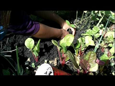 growing-malabar-spinach-from-seeds