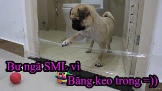 Gài bẫy chó Pug Bư - Bạn nghĩ chó Pug có nhìn thấy băng keo trong không? =)) Pugk Vlog