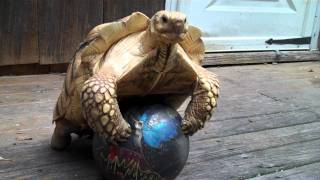 African Spurred TORTOISE Having a BALL!