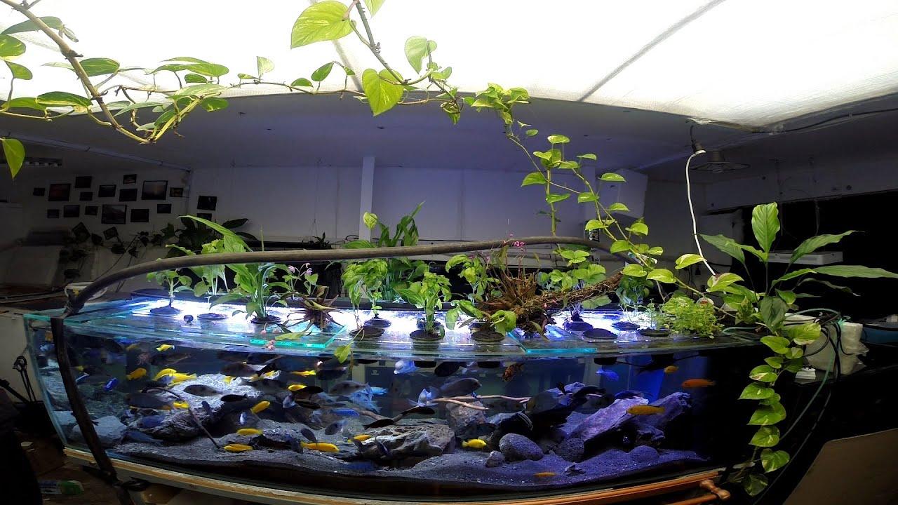 Aquaponics fueled by african cichlids youtube for Aquaponics aquarium