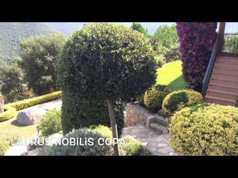 laurus nobilis copa garden center online costa brava. Black Bedroom Furniture Sets. Home Design Ideas