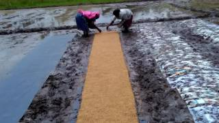 Dapog Nursery Paddy Farming - Part 2, Mannady, Pathanamthitta, Kerala Rice Cultivation Mechanised