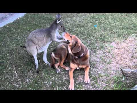 Dog and Roo caught SMOOCHING!!
