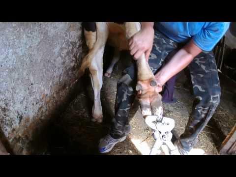 Как подстричь ногти корове видео