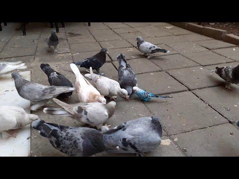 Muhabbet Kuşunu Güvercinlerle Tanıştırdım. ( Kuşlar Ezdi Onu Offf ) 😢