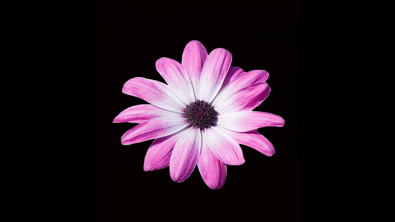 How To Make A Beautiful And Amazing Large Purple Daisy Flower With