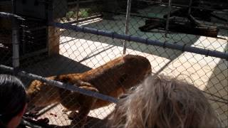 Lion Feeding and Eating Time - Western Plains Zoo, Dubbo