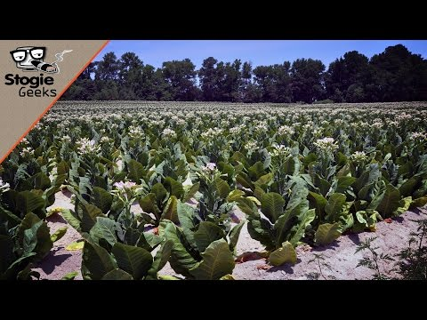 THROWBACK: Understanding The Different Parts Of A Tobacco Plant (EP30)