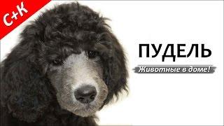 Пудель - породы собак.
