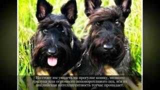 Маленькие породы собак Шотландский терьер