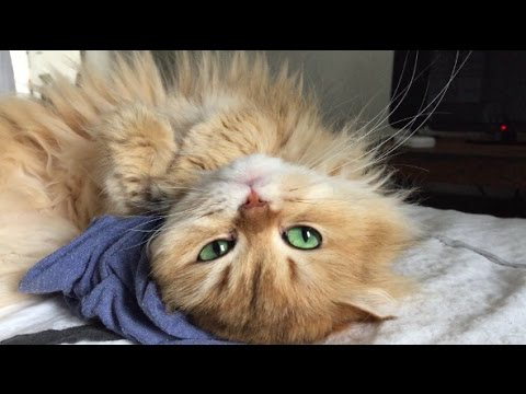 Smoothie The Cat Cuddling With A Blue T-shirt