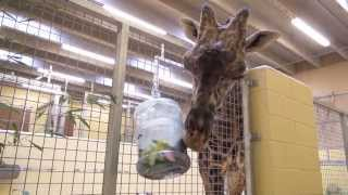 Animal Enrichment - Giraffe