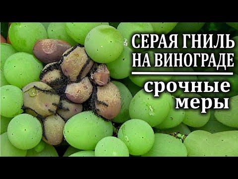 Срочные меры против серой гнили на винограде