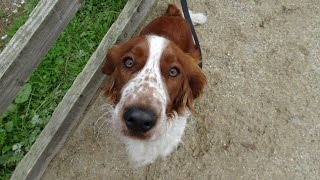 Cloud - Welsh Springer Spaniel - 3 Week Residential Dog Training At Adolescent Dogs