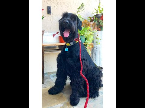 12 Month Old Giant Schnauzer 'Marley' | Orlando Dog Trainers | Central Florida Dog Trainers