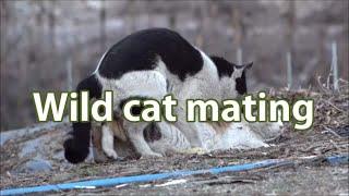 wild cat mating