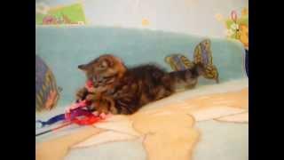 Купить котенка экзота Санкт Петербург