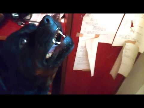 Aggressive Rottweiler