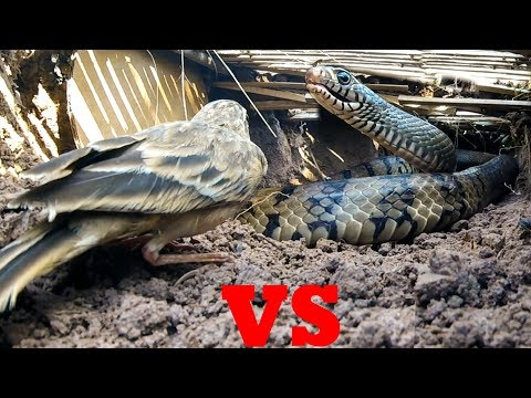 Awesome Big Snake Trap Using Square Deep Hole Trap -  How To Make Big Python Snake Trap Work 100%