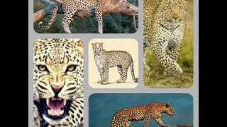 Difference between Leopard, Cheetah, Jaguar, Black Panther, Puma(Cougar, The Mountain Lion).