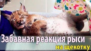 Забавная реакция рыси на щекотку. Самый милый котёнок