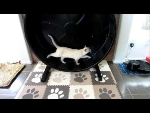 Tonkinese on Cat Exercise Wheel Day 3 [HD]